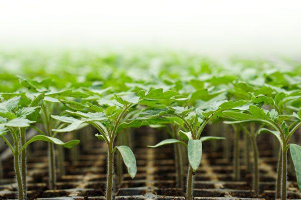 Variety Matching background varieties tomatoes business history horticulture breeding varieties_verkleind