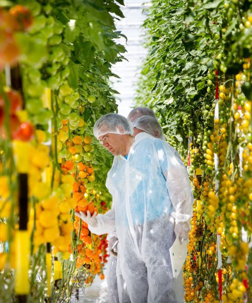 Variety Matching tomatoes innovation development method scouting